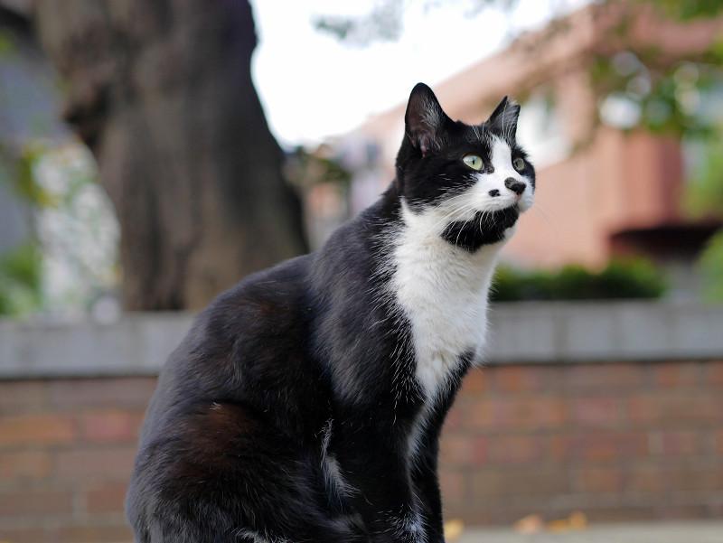 公園の黒白猫
