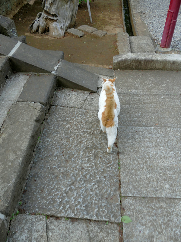 尻尾をまっすぐ立ててる白茶猫2