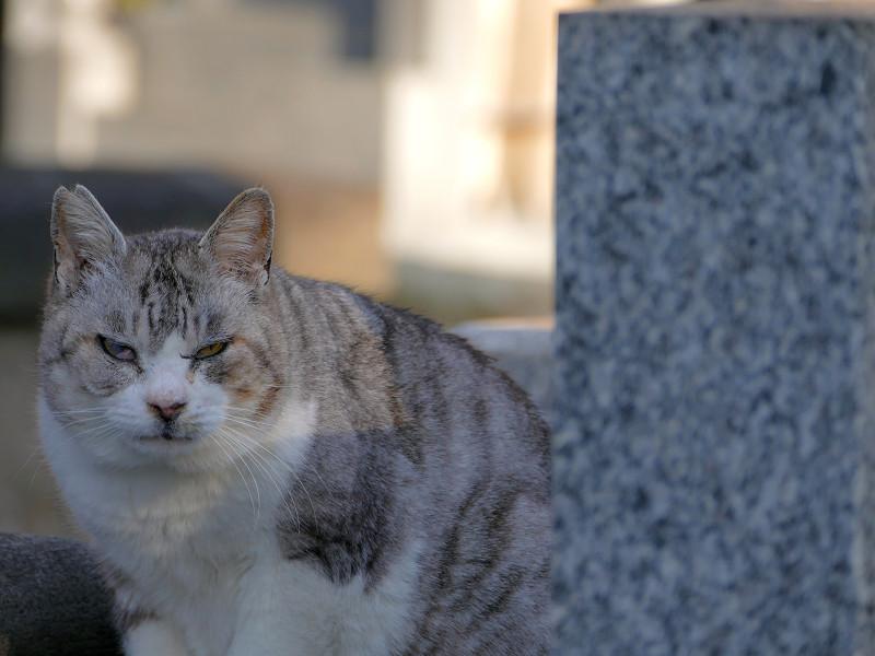 墓苑のグレー猫2