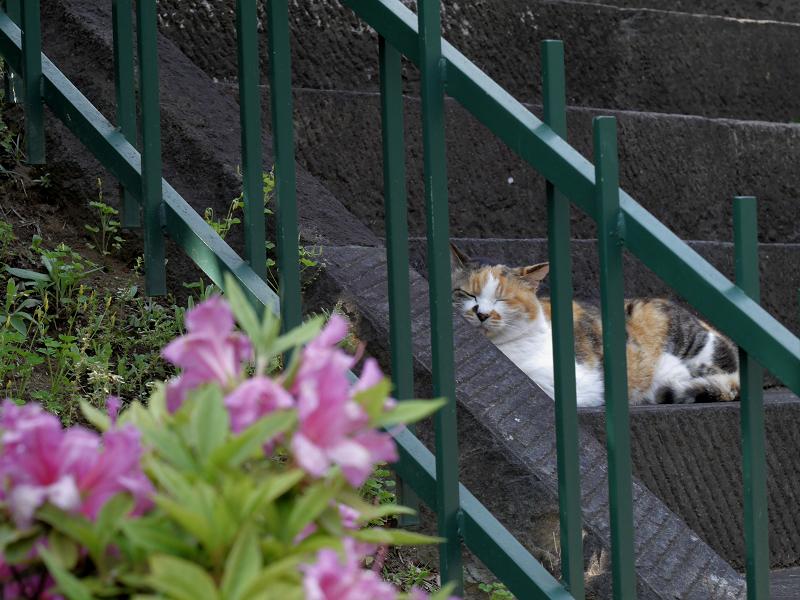 急階段とツツジと三毛猫2