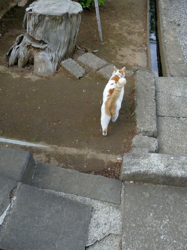 尻尾をまっすぐ立ててる白茶猫3