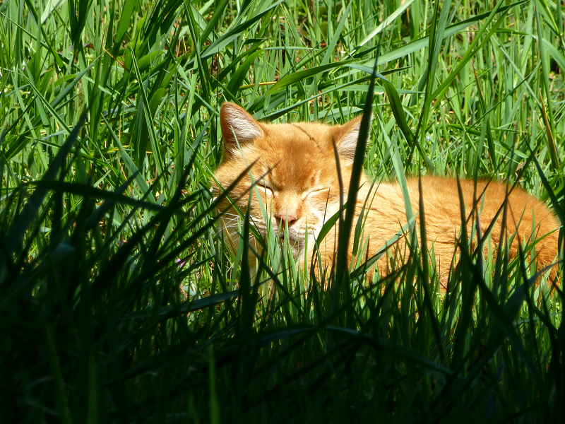 草むらと茶白猫3