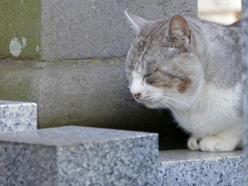 墓苑のグレー猫3