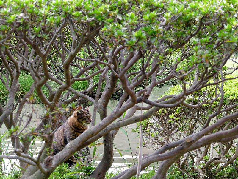 躑躅の枝の中のキジトラ猫1