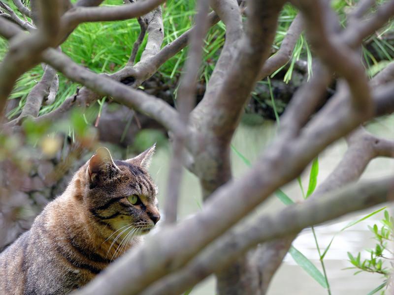 躑躅の枝の中のキジトラ猫2
