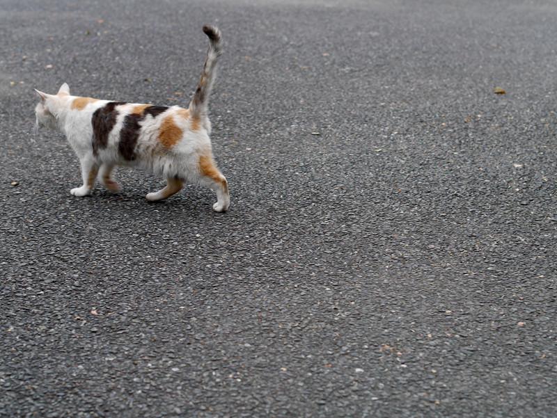 歩いてる薄三毛猫