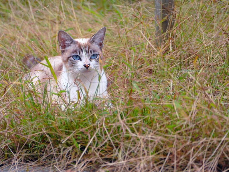 草むらで休憩してるシャム猫風猫1
