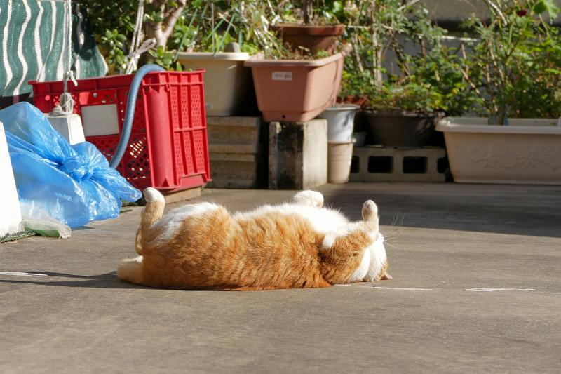 転がり続けた茶白猫1