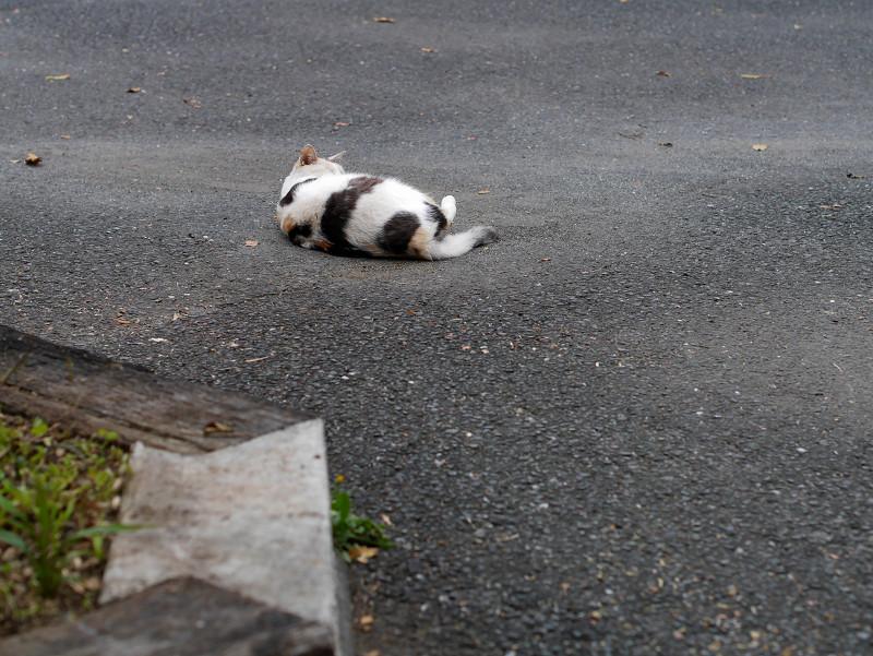 転がった薄三毛猫1