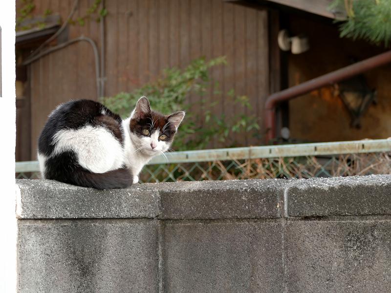 木製の塀と黒白猫2