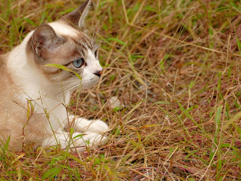 草むらで休憩してるシャム猫風猫2