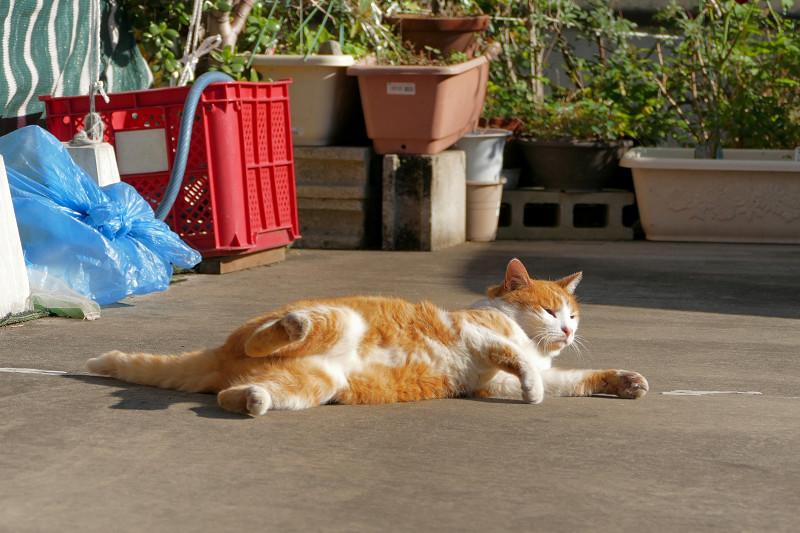 転がり続けた茶白猫2