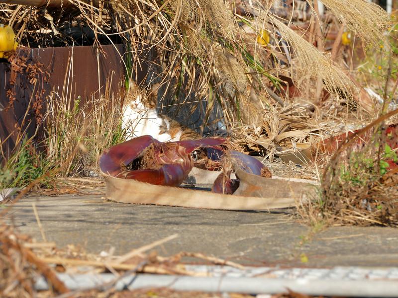 枯れ草と茶系の猫2