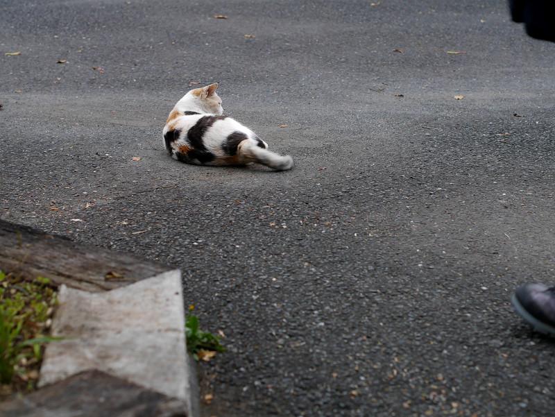 転がった薄三毛猫2