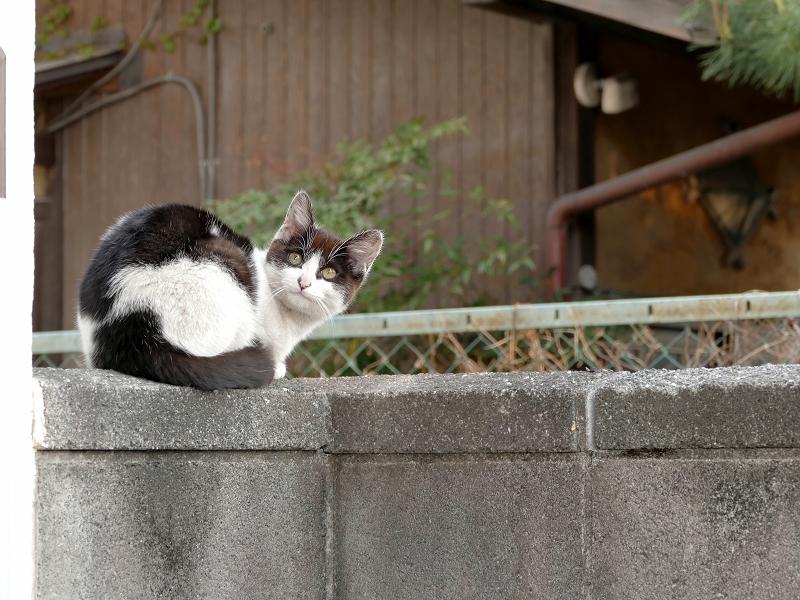 木製の塀と黒白猫3