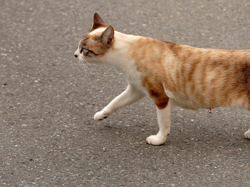 草むらで休憩してるシャム猫風猫3