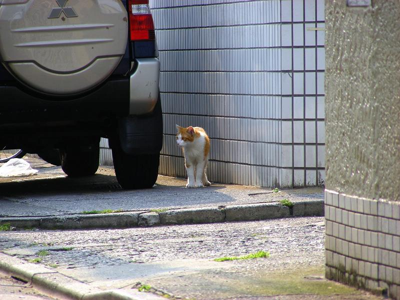 民家駐車場と茶白猫1