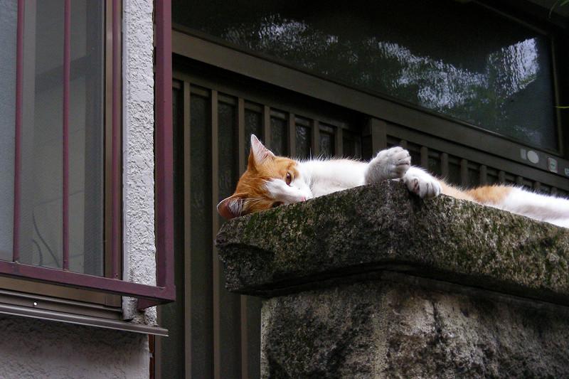 門柱で仰向けな茶白猫1