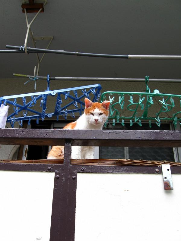 物干しの茶白猫
