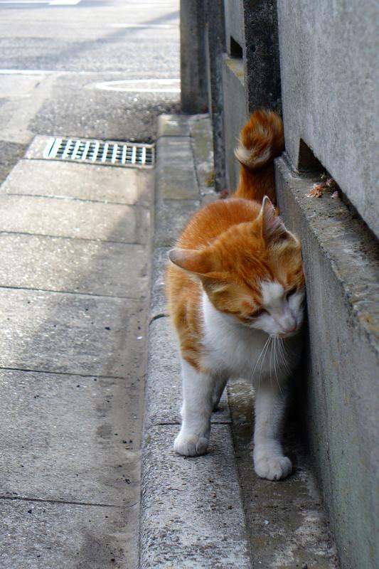 コンクリート壁と茶白猫1