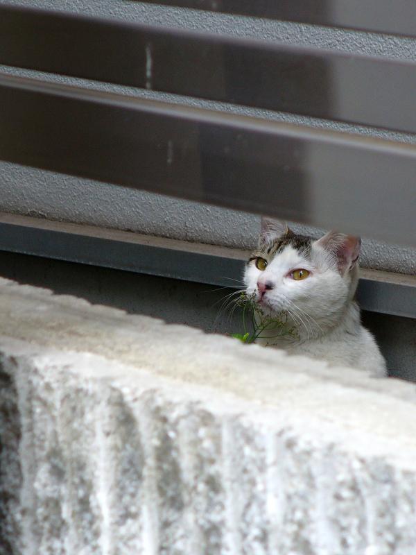 フェンスの隙間の猫2