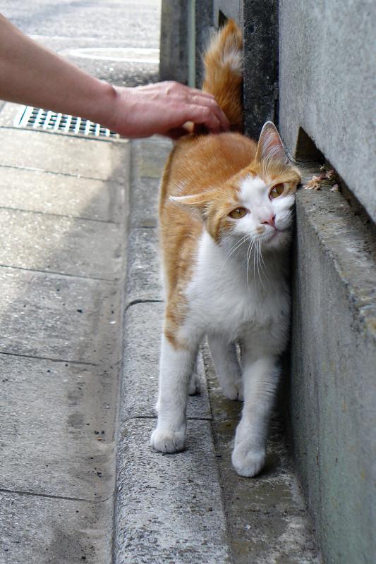 コンクリート壁と茶白猫2