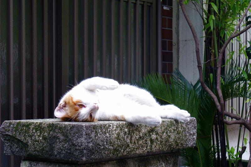 門柱で仰向けな茶白猫2