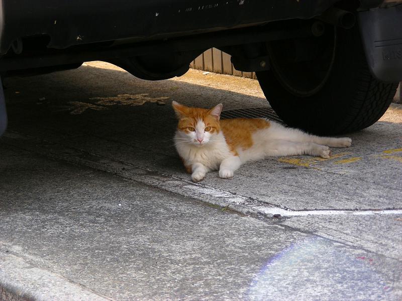 民家駐車場と茶白猫3