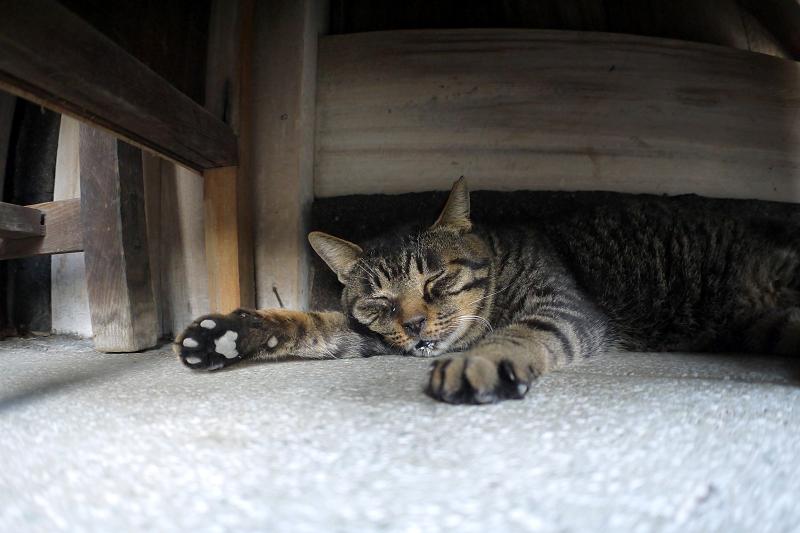 ラジオ体操の机の下で寝てるキジトラ猫1