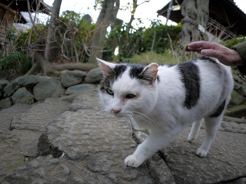足もとで鳴いている白キジ猫1