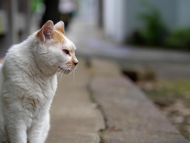 犬走りから見ている白茶猫1