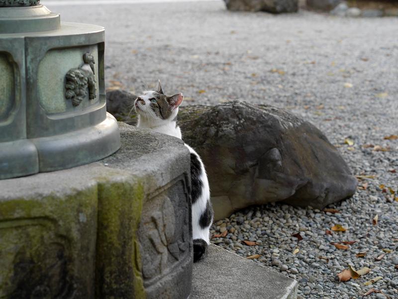 石灯籠と白キジ猫1