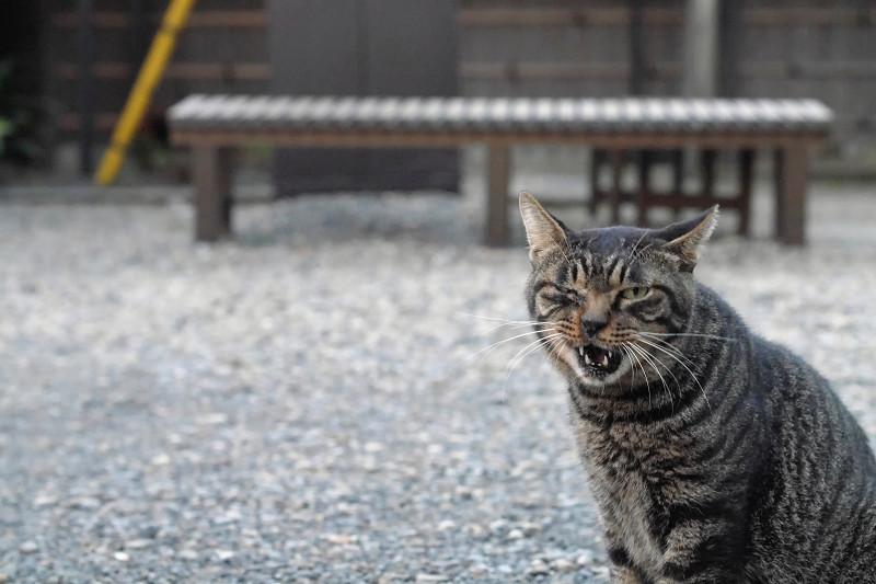 連続で変顔のキジトラ猫1