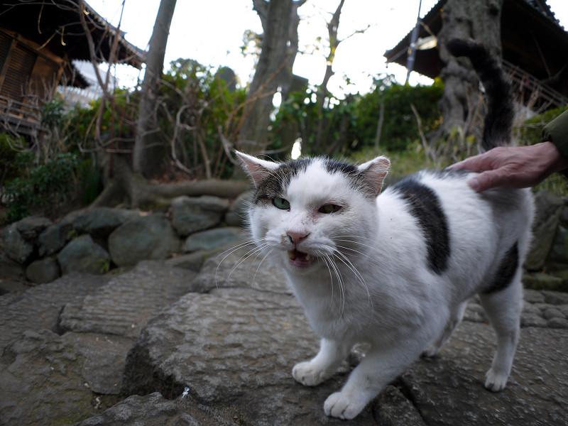 足もとで鳴いている白キジ猫2