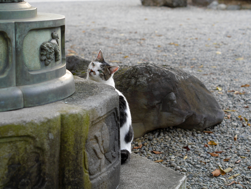 石灯籠と白キジ猫2