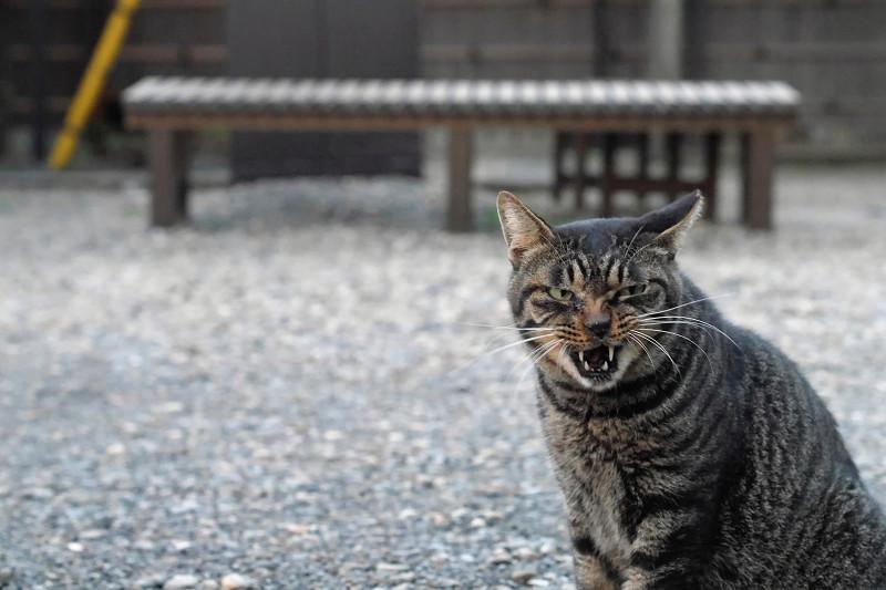連続で変顔のキジトラ猫2