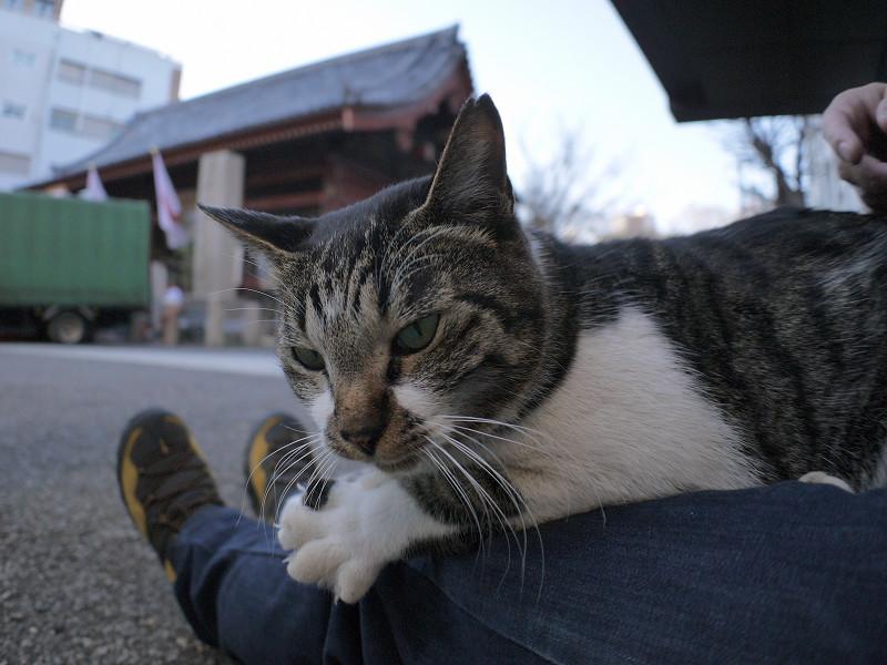 膝で遊ぶキジ白猫3