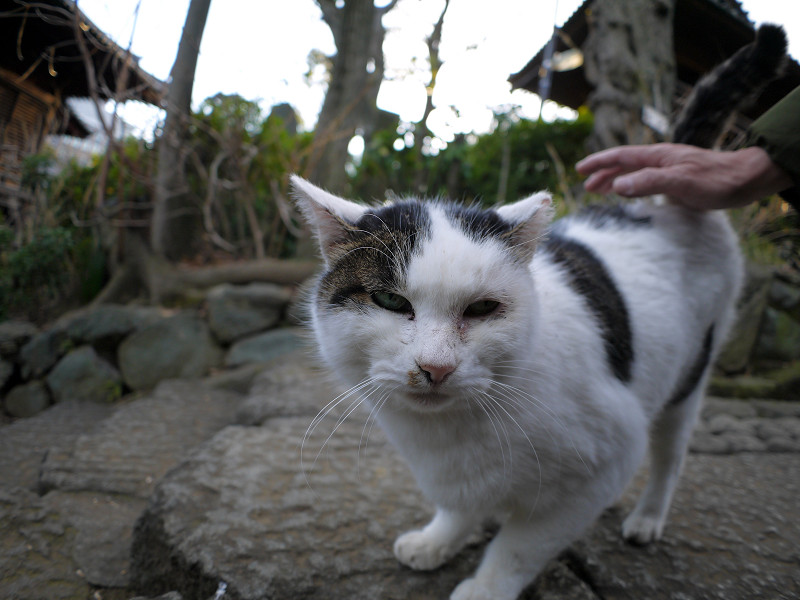 足もとで鳴いている白キジ猫3