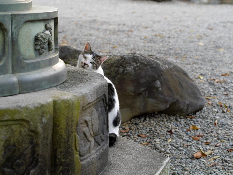 石灯籠と白キジ猫3
