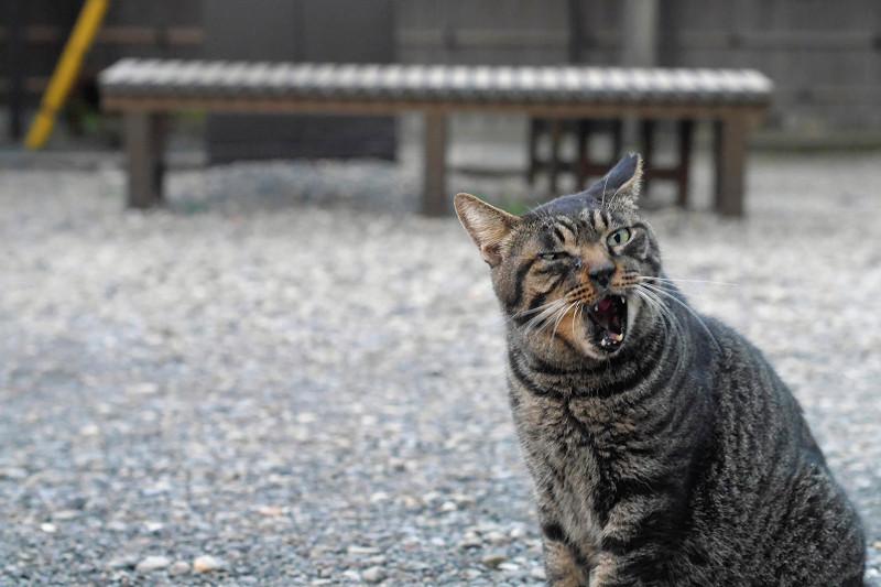 連続で変顔のキジトラ猫3