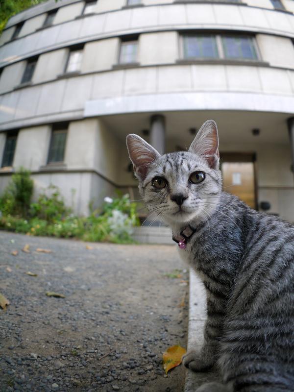 興味津々でカメラを見ているサバトラ仔猫1