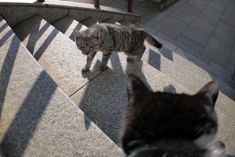 階段を上がって来たサバトラ猫1
