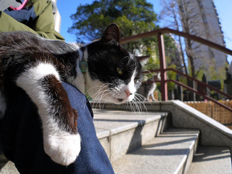 膝に乗り続けてる黒白猫1