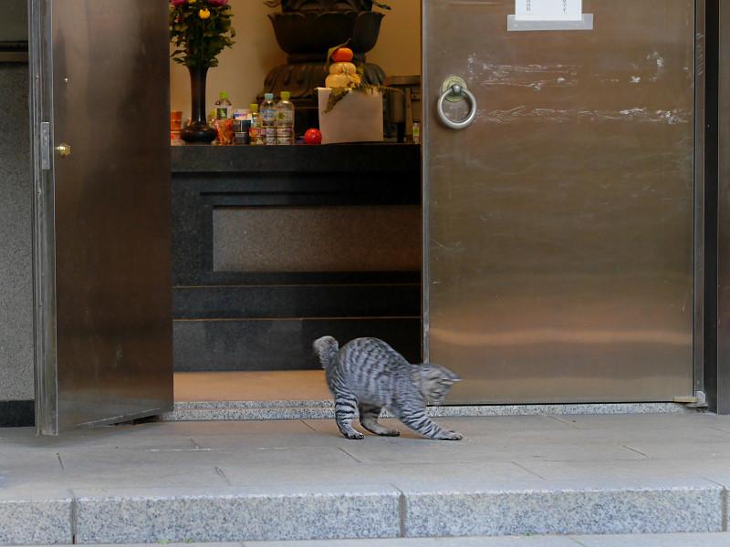 お堂から出て来たサバトラ猫1