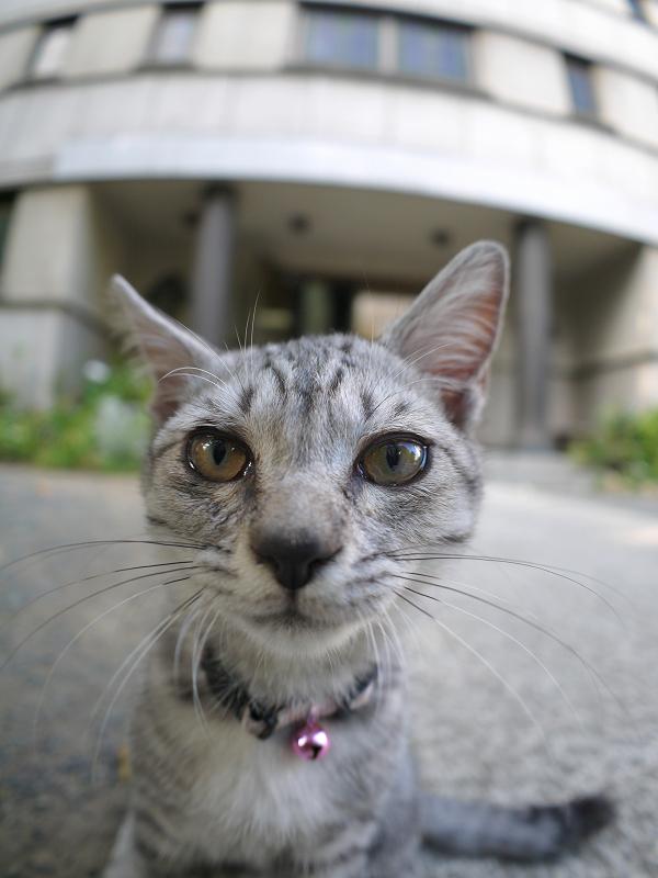 興味津々でカメラを見ているサバトラ仔猫2