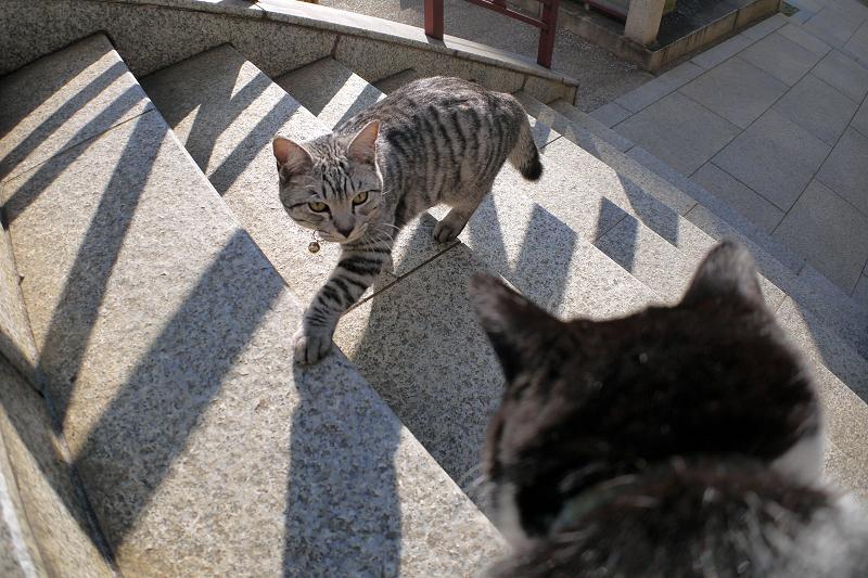 階段を上がって来たサバトラ猫2