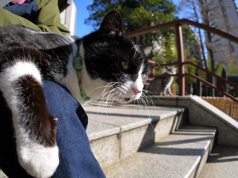 膝に乗り続けてる黒白猫2