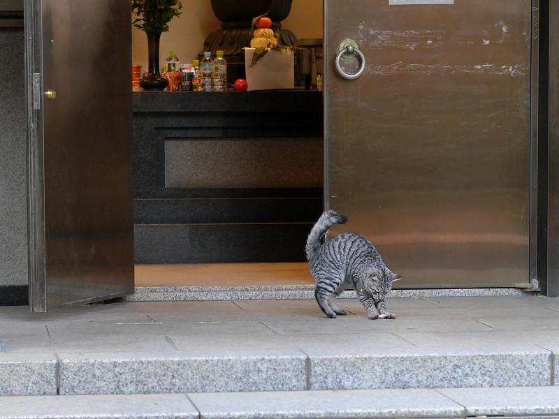 お堂から出て来たサバトラ猫2