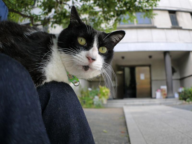 膝の上からジーッと見ている黒白猫3