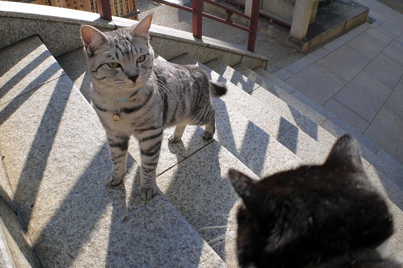 階段を上がって来たサバトラ猫3